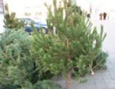 В лесхозах Марий Эл утвердили прейскурант на новогодние ели